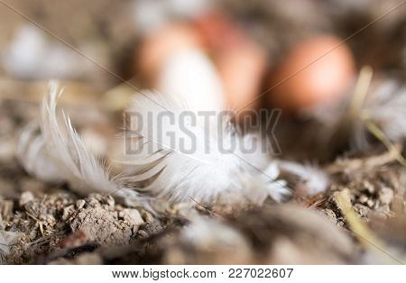 Eggs In The Feathers On The Farm .