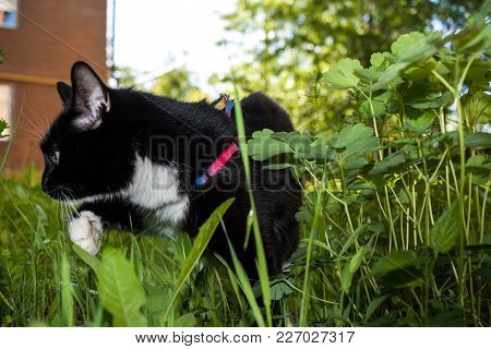 Black And White Cat Walking On The Harness Is Wading Among The Green Grass.