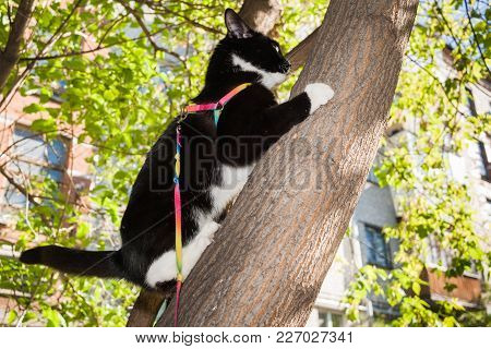 Black And White Cat Walking On The Harness At Urban Courtyard Climbed At A Tree.