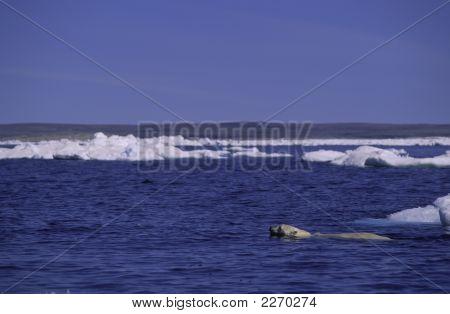 Polar Bear Swimming. Arctic Circle Canada.