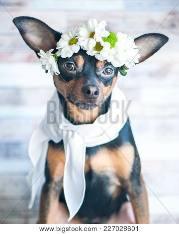 A Dog In A Wreath Of Chamomiles And A Scarf. The Theme Of Spring, Summer. Fashionable Dog In A Scarf