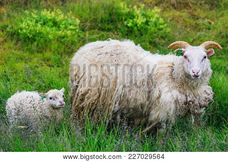 Icelandic Sheep And Lamb Grazing In A Field In Summer