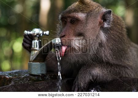 Clever Monkey Is Drinking Water In The Pond, Ubud, Indonesia. Close Up Portrait