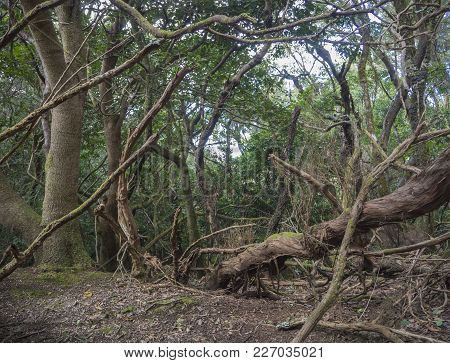 Mystery Primary Laurel Forest Laurisilva Rainforest With Old Mossed Trees Twisted Roots In Anaga Mou