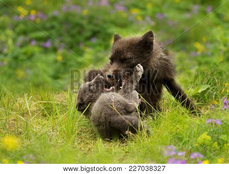 Arctic Fox Mother Playing With A Cub In Summer, Iceland.