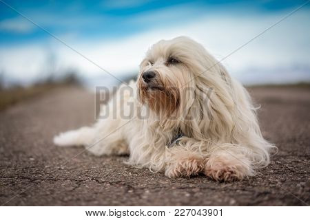 Little White Havanese Is Lying On The Street And Looking Sideways Out Of The Picture.