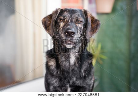 Portrait Of Beautiful Young Cute Australian Shepherd Mix With Brown Big Eyes With Copy Space