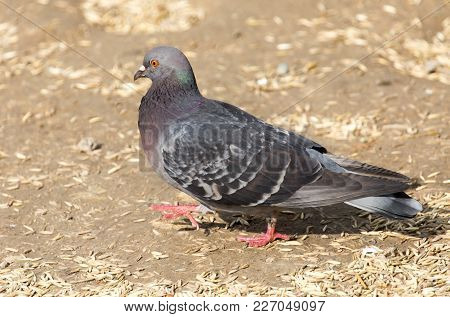 Pigeon In The Park On The Nature .
