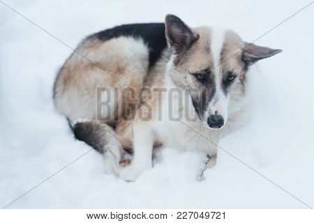A Sad Stray Dog Is Lying In The Snow, For Any Purpose