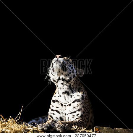 Leopard Looks Up On The Dark Background