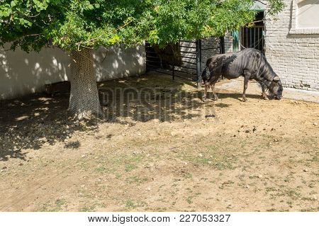 Blue Wildebeest (connochaetes Taurinus Taurinus)