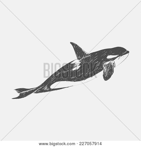 Illustration drawing style of killer whale