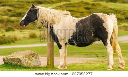 A Wild Horse Grazing Near Hay Bluff And Twmpa In The Black Mountains, Wales, Uk