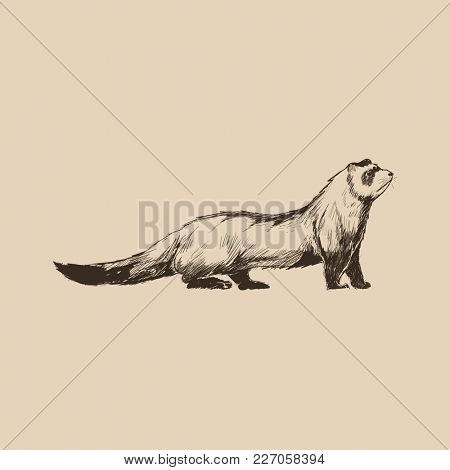 Illustration drawing style of ferret