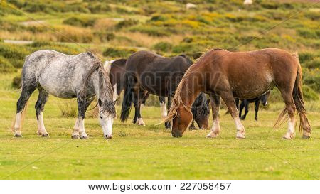 Wild Horses Near Hay Bluff And Twmpa In The Black Mountains, Wales, Uk