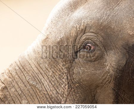Eye Elephant In Nature. Portrait . In The Park In Nature