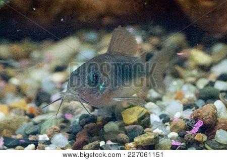 Catfish From Genus Corydoras In A Aquarium