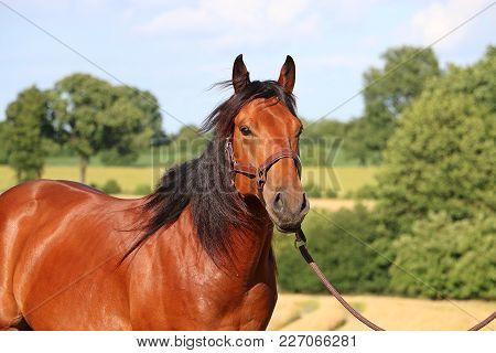 Brown Quarter Horse Portrait In Beautiful Nature