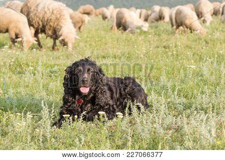 Beautiful Black Cocker Spaniel Standing On The Grass In A Field Through Sheep, Dobrogea, Romania