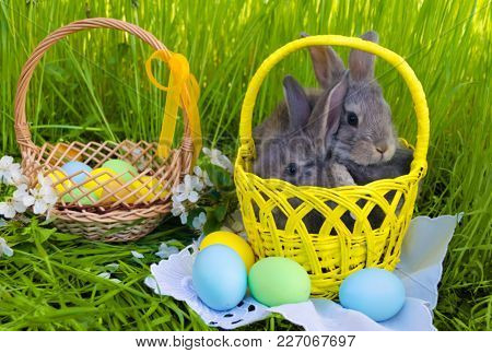 Easter bunnies in Easter basket with easter colored eggs on grass background. Easter bunny with Easter basket. Easter bunny egg hunt. Farm bunnies. Easter Bunny card. Easter Bunny concept.