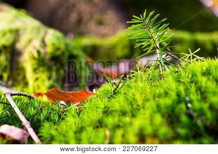Brightly Green Forest Moss. Needles. Forest Background. Joyful Mood. Forest Moss