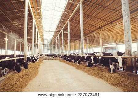 cow farm concept of agriculture, agriculture and livestock - a herd of cows who use hay in a barn on a dairy farm. poster