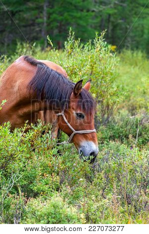 Portrait Of A Brown Horse Grazing In Nature. It Feeds On Bushes And Dwarf Birch.