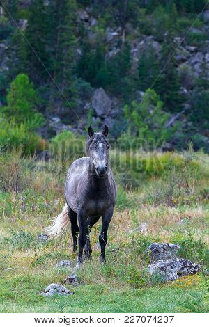 Gray Horse Looks At The Camera Camera. Horse Grazing And Walking In The Wild On The Green Grass Agai