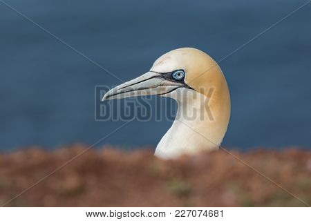 Northern Gannet Morus Bassanus At The Island Helgoland, Germany