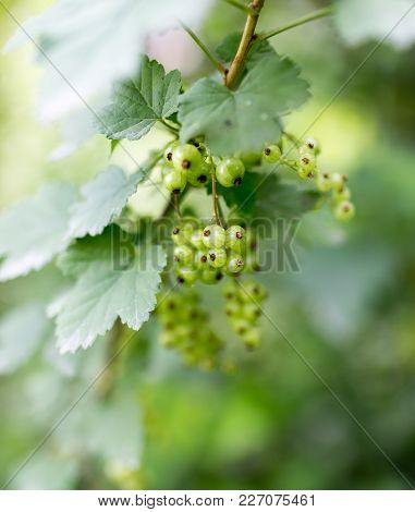 Green Unripe Currants In The Garden . In The Park In Nature