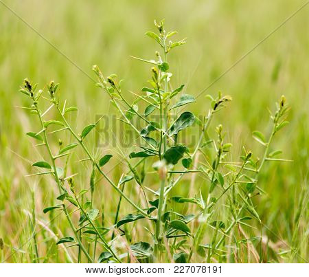 Green Camel-thorn In A Park On The Nature . In The Park In Nature