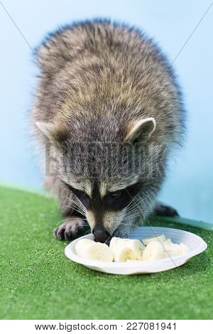 The Funny Raccoon Eats From A Plate