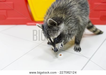 Beautiful Raccoon In The Zoo And Eats Nuts