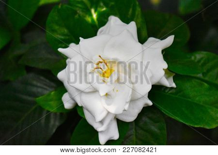 Gardenia Flower In A Botanical Garden With Deep Green Leaves