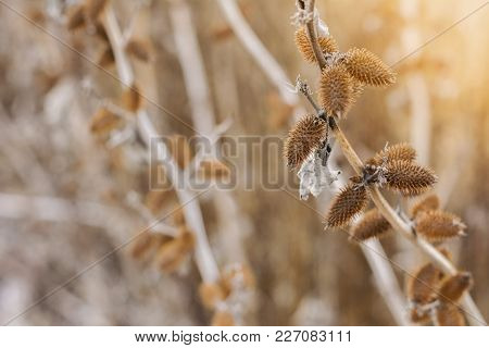 Dry Bush Burdock With Spines, Winter Sunset View In The Field