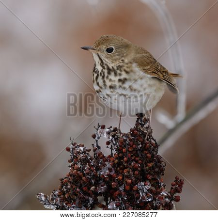 A Hermit Thrush (catharus Guttatus), In Winter Plumage, Sits Atop A Cluster Of Berries On A Sumac Bu