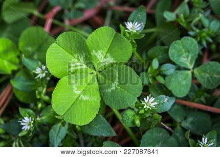 Horizontal Photo Of A Bright Green Four Leaf Clover With Small White Flowers On A Bed Of Green And B