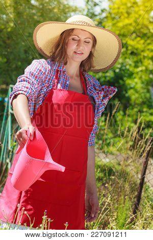 Gardening. Woman In Hat Red Apron Working In Her Backyard Garden Watering Flowers Outdoor