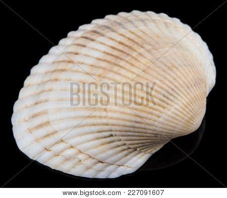Sea Shells On Black Background. Close Up.