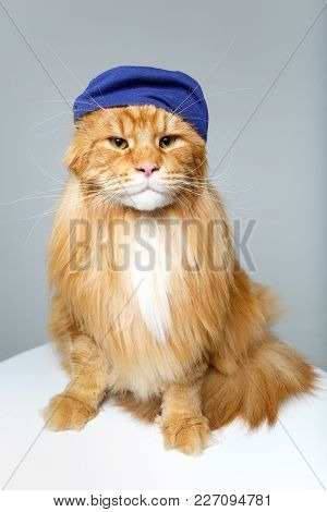 Beautiful Ginger Maine Coon Cat Wearing Blue Hat On Grey Background. Copy Space. Studio Shot.