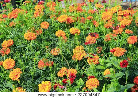 Butterflies On The Flowers. Peacock Eye On The Marigolds. Bright Floral Image In The Garden