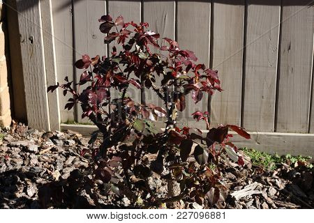 This Is An Image Of First Growth Of Rose Bush Leaves After A Winter Cutting Back In Carmel, Californ