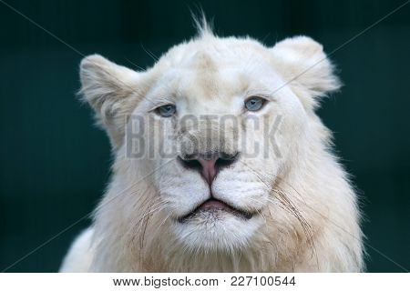 The Portrait Of A Young White Lion