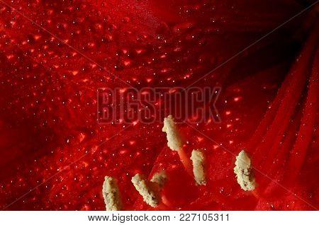 Close Up Detail Of Red Amaryllis Flower.