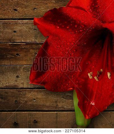 Close Up Of Amaryllis Flower On Wood Background.
