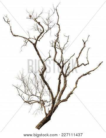 Dead And Dry Tree Isolated On White Background