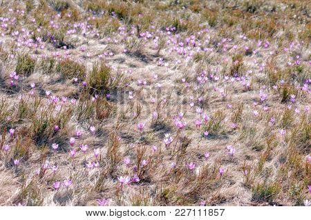 Field of crocus flowers in grass on spring meadow closeup