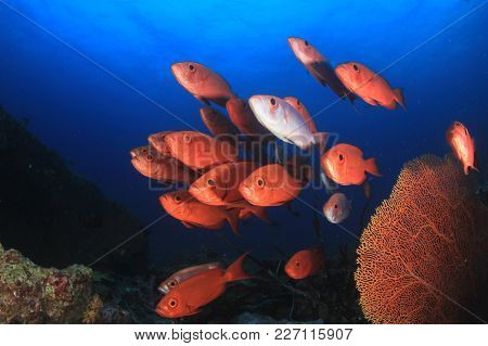 Fish on coral reef. Crescent-tailed Bigeye fish