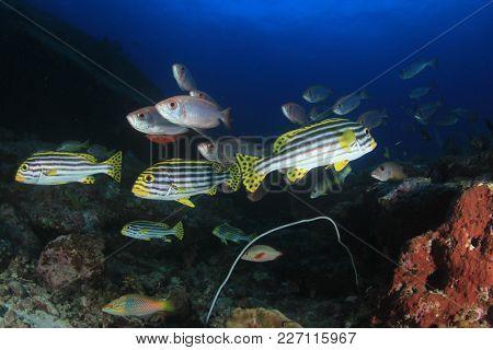 Sweetlips and Bigeye fish