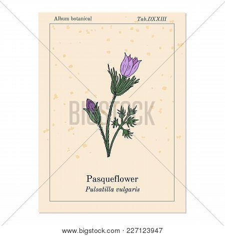 Pasqueflower Pulsatilla Vulgaris , Medicinal Plant. Hand Drawn Botanical Vector Illustration